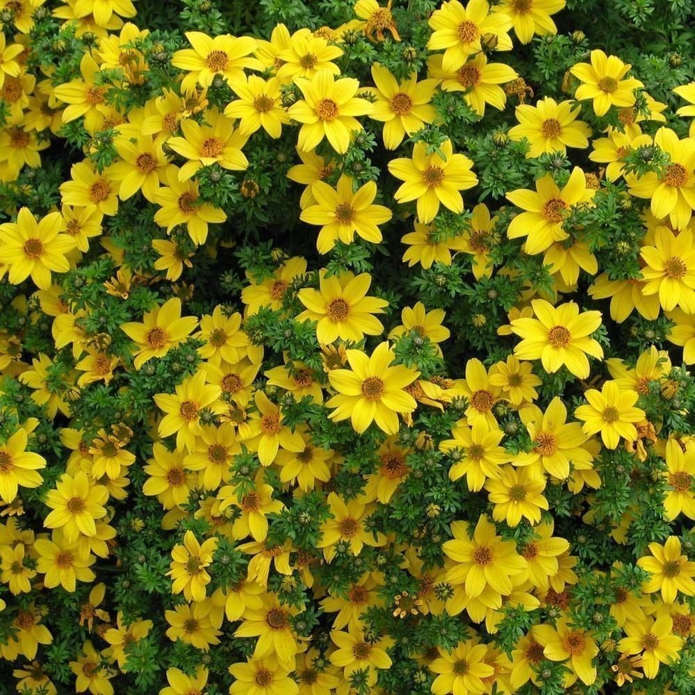 50 Seeds - Bur Marigold (Bidens Aurea) baskets containers or tumbling over Wall SVI