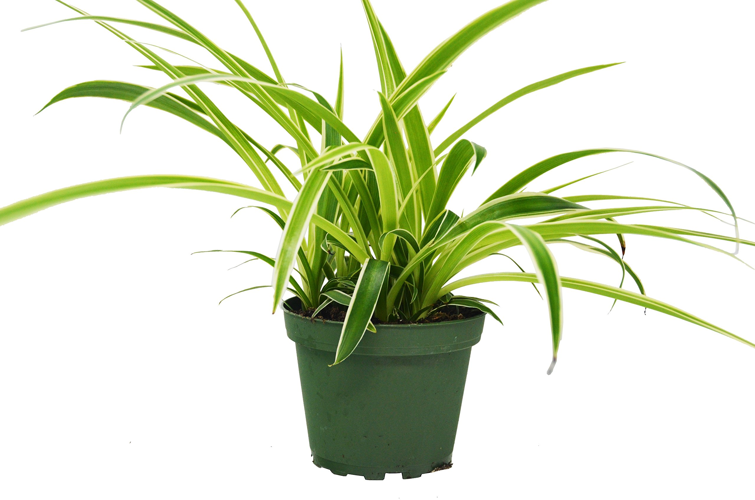Spider Plant 'Reverse Variegated' - Chlorpohytum - Live House Plant - FREE Care Guide - 4'' Pot