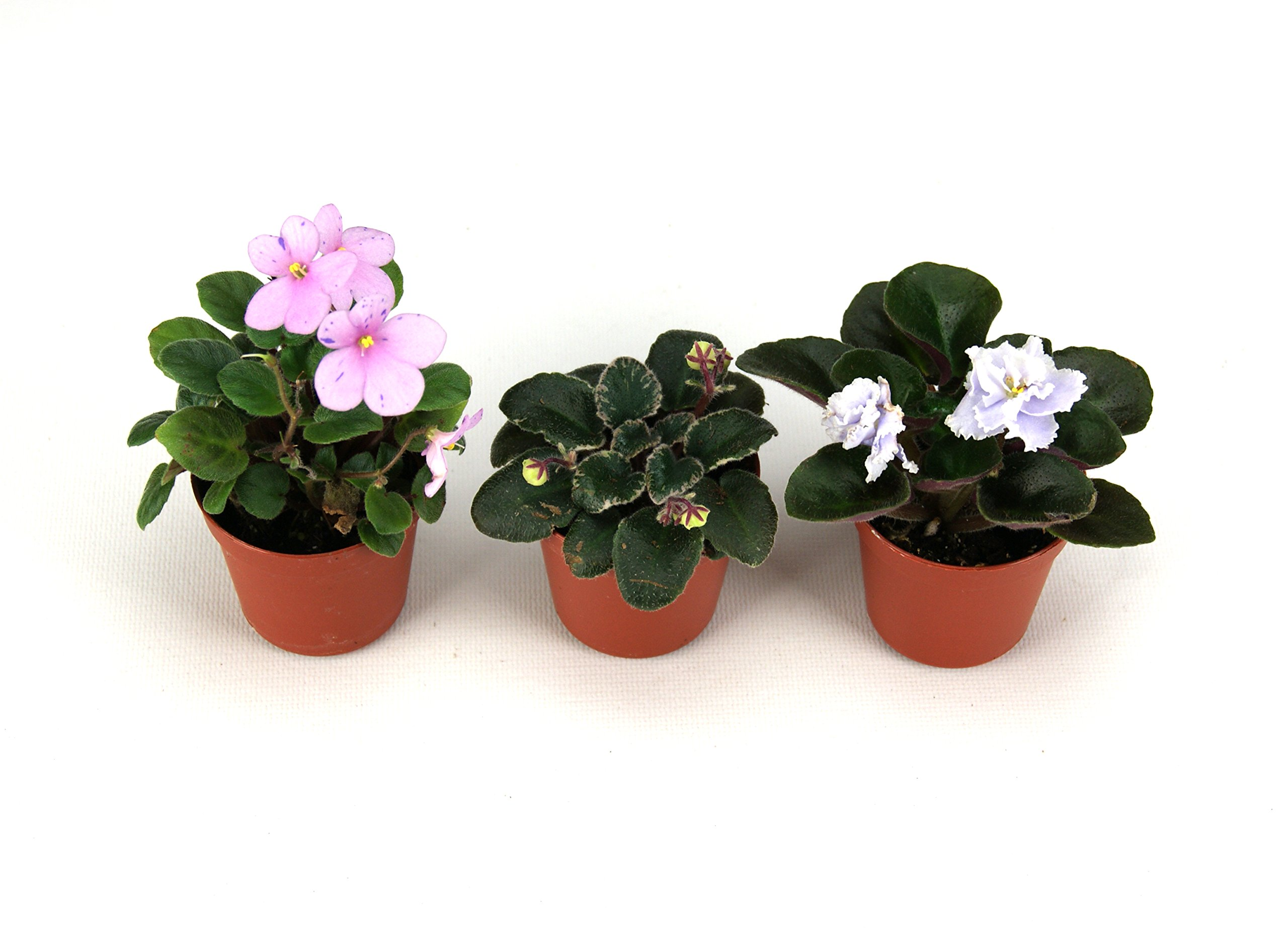 Miniature African Violet 3-Pack (Grower's Choice)