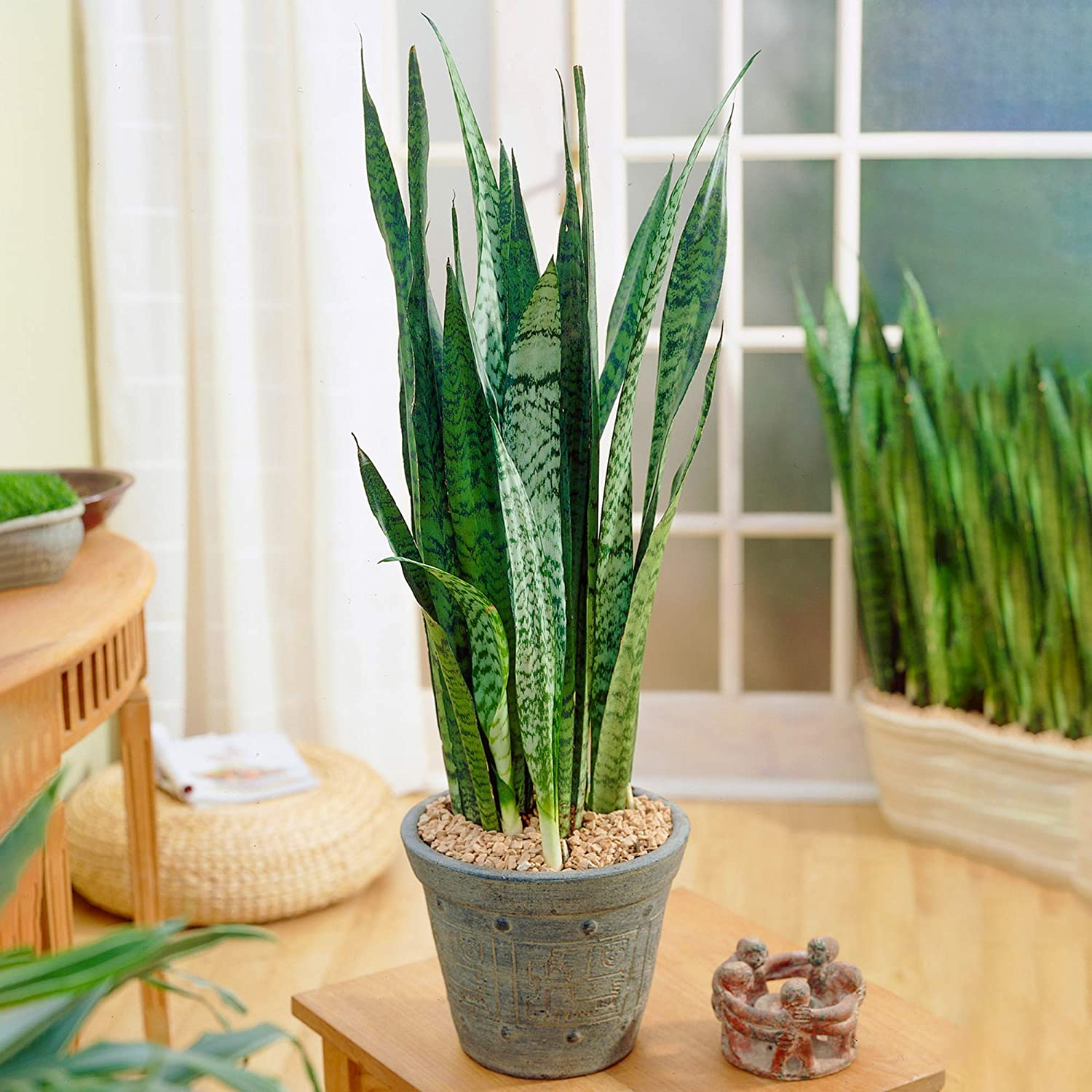 1 x Sansevieria Black Coral Snake PlantHome or Office 30-40cm Potted Plant