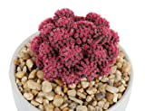 Costa Farms Desert Gems Pink Cacti Live Indoor