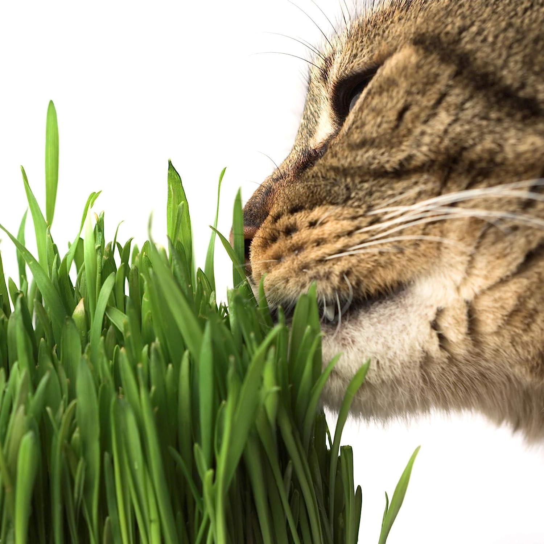 La mejor hierba para gatos [year] (análisis y guía) 8