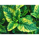 Variegated Lemon Balm aromatic herb loved by bees and butterflies 9cm pot FREE DELIVERY