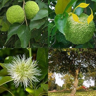 Osage Orange Maclura Pomifera 10, 20 Seeds : Garden & Outdoor