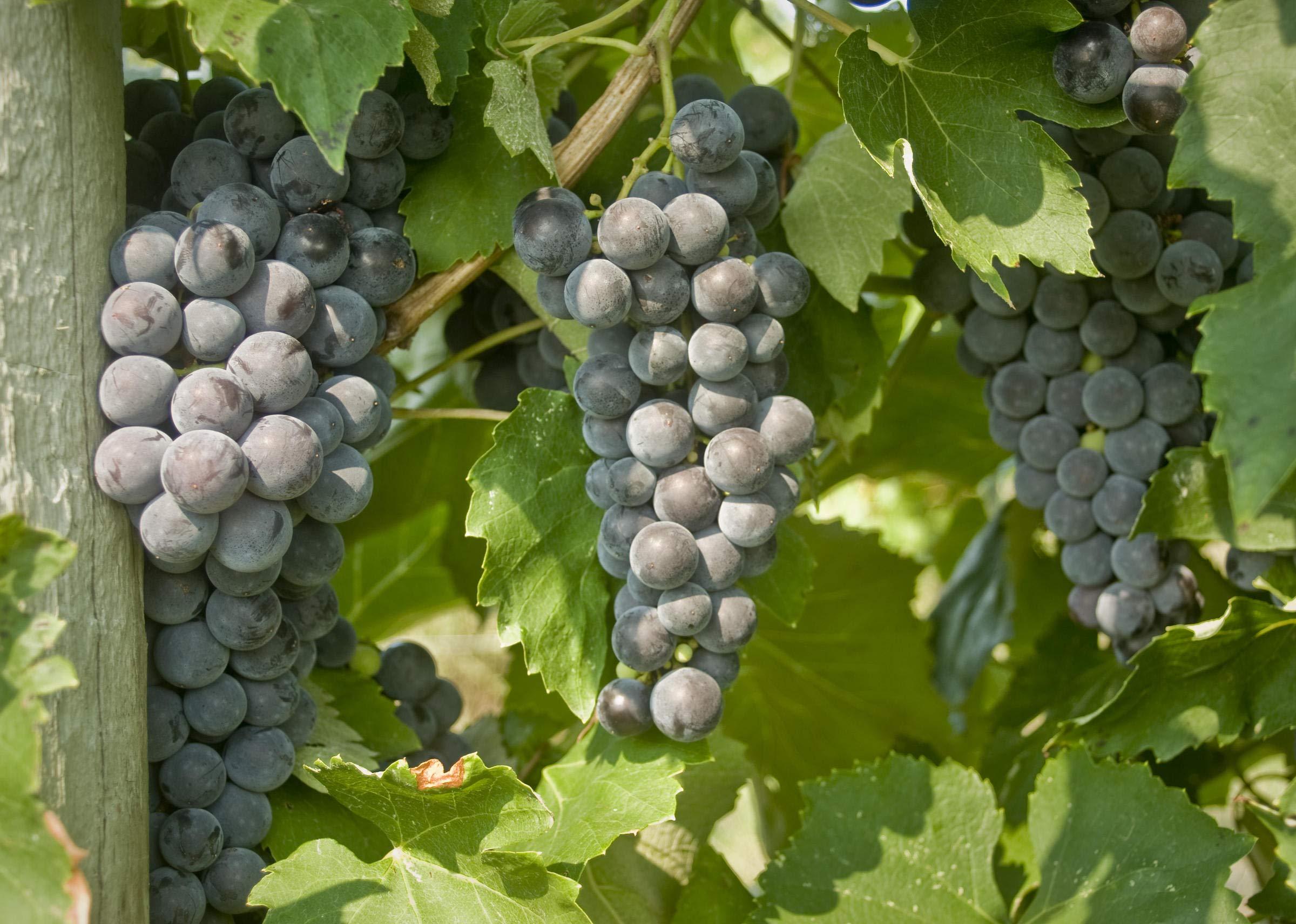 Mars Seedless Grape - Live Plant - 2 Gallon Pot