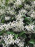 AMERICAN PLANT EXCHANGE Confederate Jasmine 1
