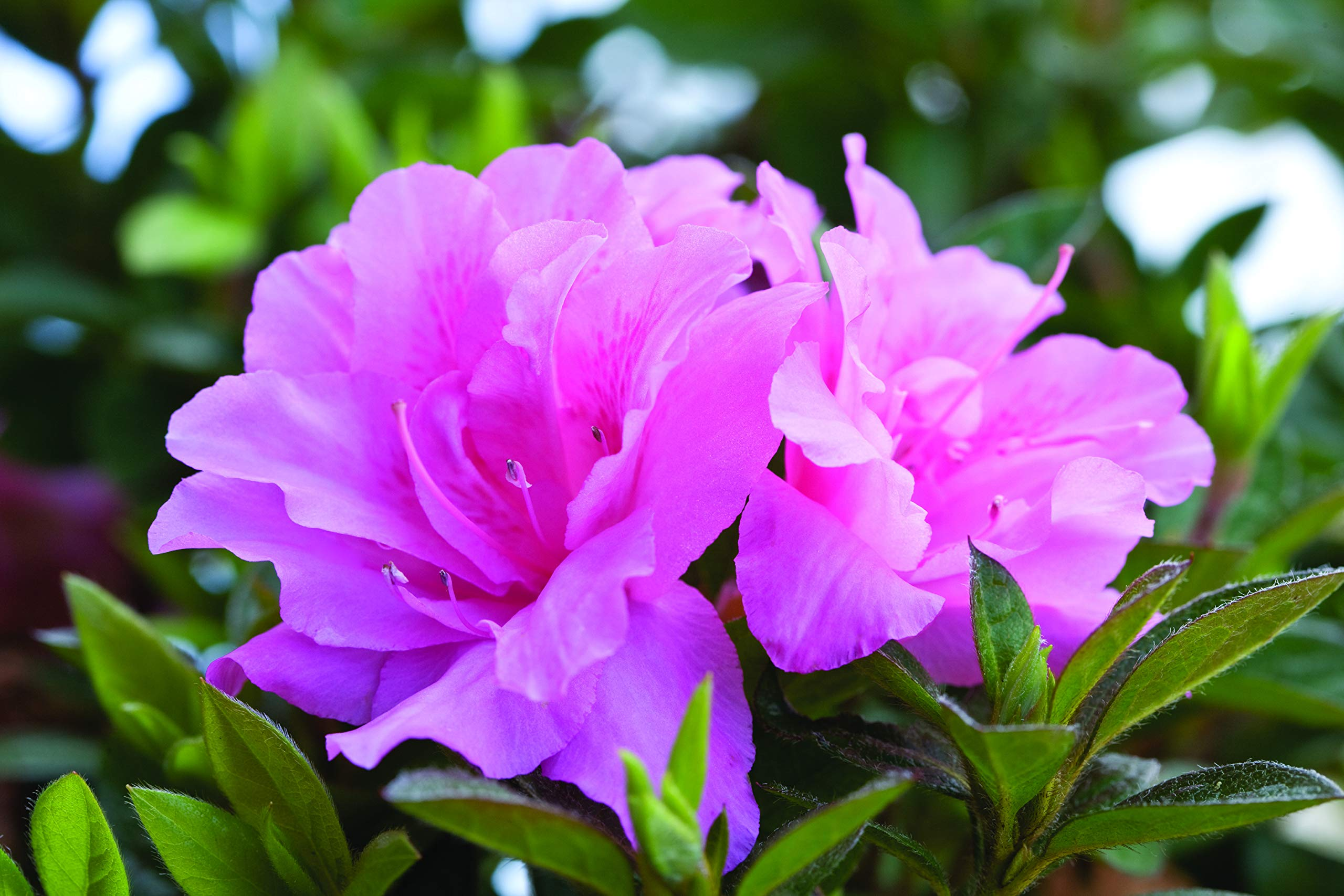 2 gal. Encore Azalea Autumn Carnation - Blooms in Spring Summer and Fall with Hot Pink Flowers
