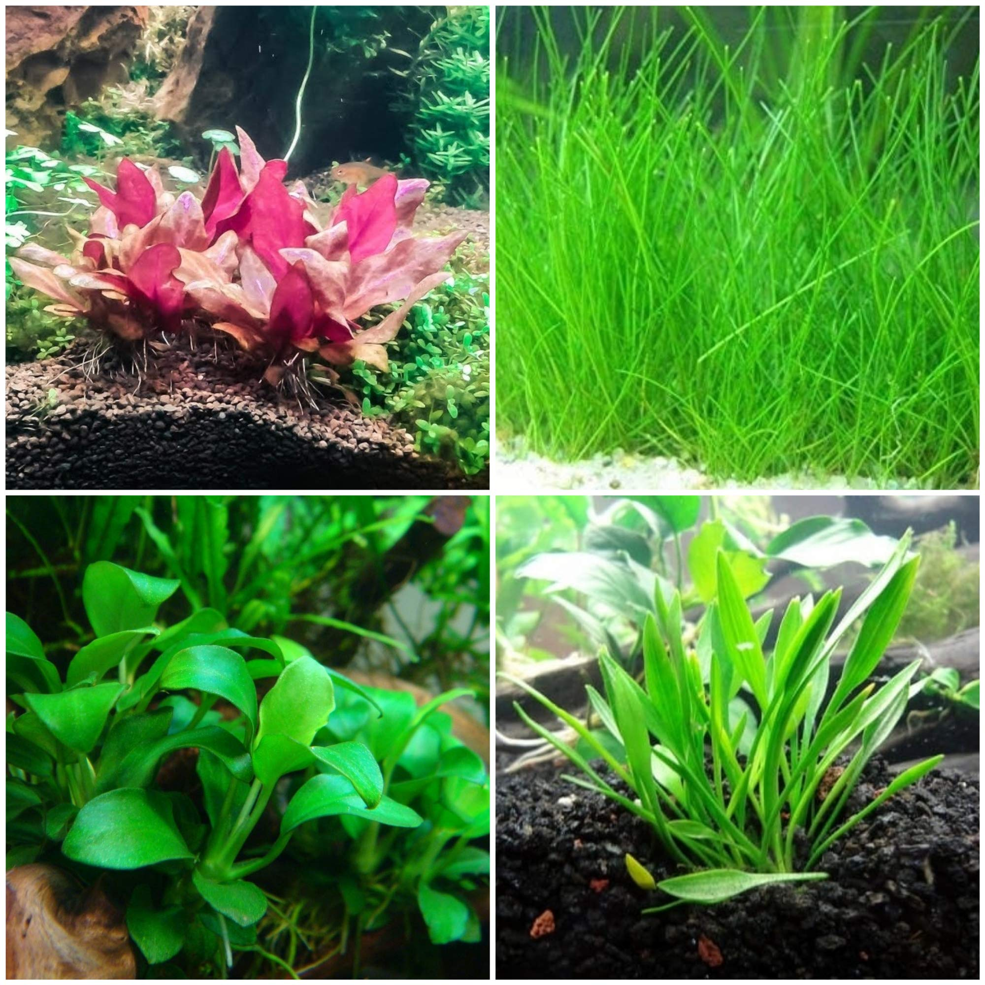 Tissue Culture Cup Bundle | Foreground Aquarium Plants - Anubias, Crypt Parva, Alternanthera Reineckii, Dwarf Hairgrass - Snail and Parasite Free Guaranteed by AquaLeaf Aquatics
