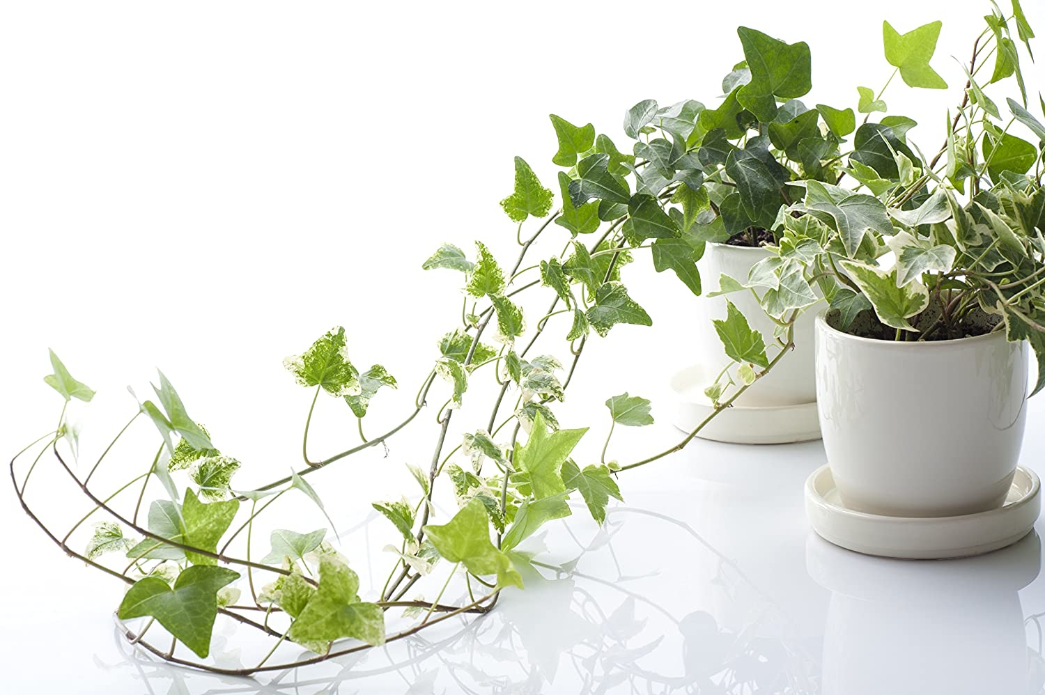 """English Ivy (Hedera Helix)""""50 Seeds"""" - Evergreen Houseplants for Improving  Indoor Air Quality: Amazon.co.uk: Garden & Outdoors"""