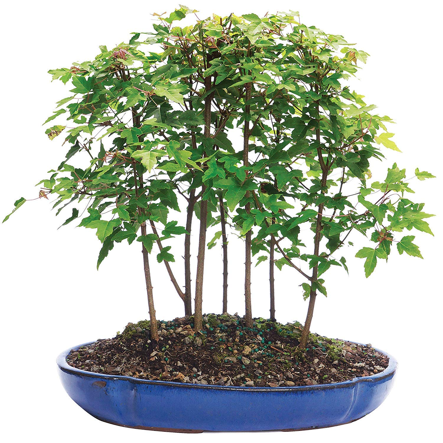 Brussel's Bonsai Live Trident Maple Forest 7 Outdoor Bonsai Tree - 3 Years Old; 8'' to 14'' Tall with Decorative Container