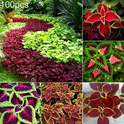 HUAhuako Seeds, 100Pcs Mixed Color Rare Coleus Seeds Flower Plants Bonsai Home Garden Decor Gift for Elder Family 100pcs Coleus Seeds : Garden & Outdoor