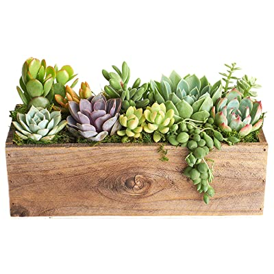 "Shop Succulents | Unique Centerpiece of Live Succulent Plants in 12"" Rustic Wood Planter, Hand Selected & Planted, Ideal for Home Décor or Wedding Events: Garden & Outdoor [5Bkhe0801023]"