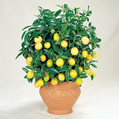 35 Seeds Dwarf Meyer Lemon Tree Indoor/Outdoor : Garden & Outdoor