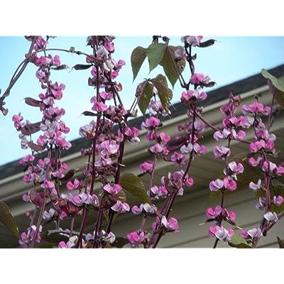 Purple Hyacinth BEAN-1/4 lb Seed,Dolichos,Lablab,Great on Trellis.: Kitchen & Dining