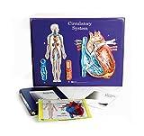 American Educational Circulatory System Model