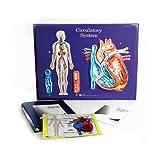 American Educational Circulatory System Model Activity Set