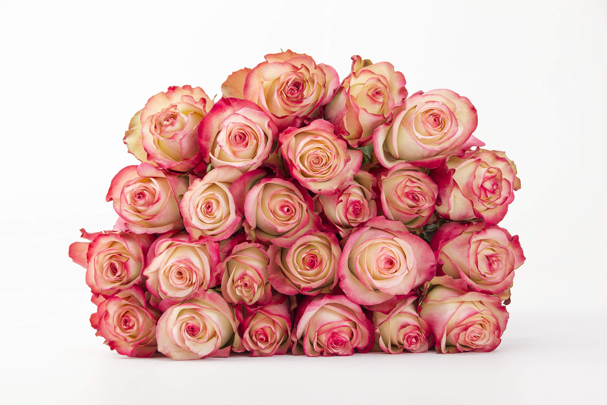Martha Stewart Roses by BloomsyBox - Two Dozen Magenta & White Paloma Roses Selected by Martha and Hand-Tied, Long Vase Life