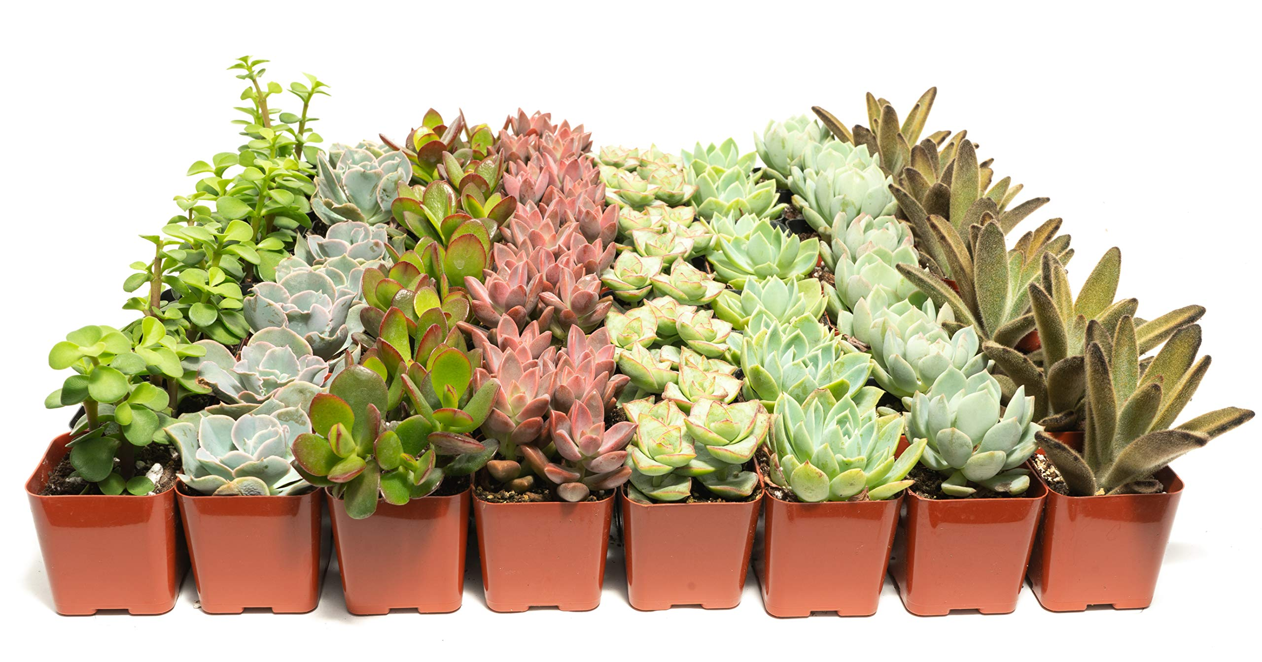 Succulent Assorted Pack- Perfect for Weddings, Party Favors, Home Gardens, and Social Events by Jiimz (64 Pack)