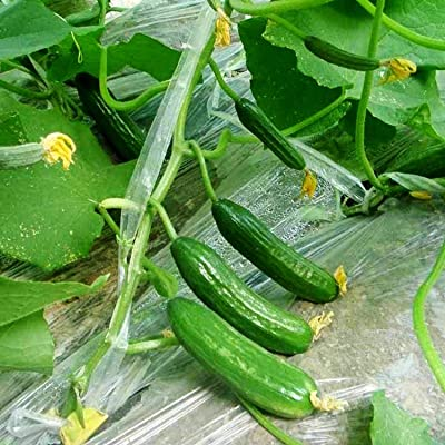 LEANO Garden - 30PCS Cucumber Seeds Organic Heirloom Crispy and Sweet Gherkin Seeds Vegetables Annual Creeping Climbing Herbs Blooms : Garden & Outdoor
