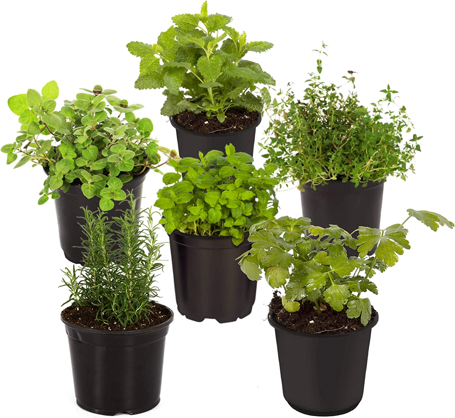 """The Three Company 4"""" Assorted Herbs (6 Per Pack) (Rosemary, Oregano, Lavender, Thyme, Chamomile, Lemon Balm), Aromatic and Edible"""