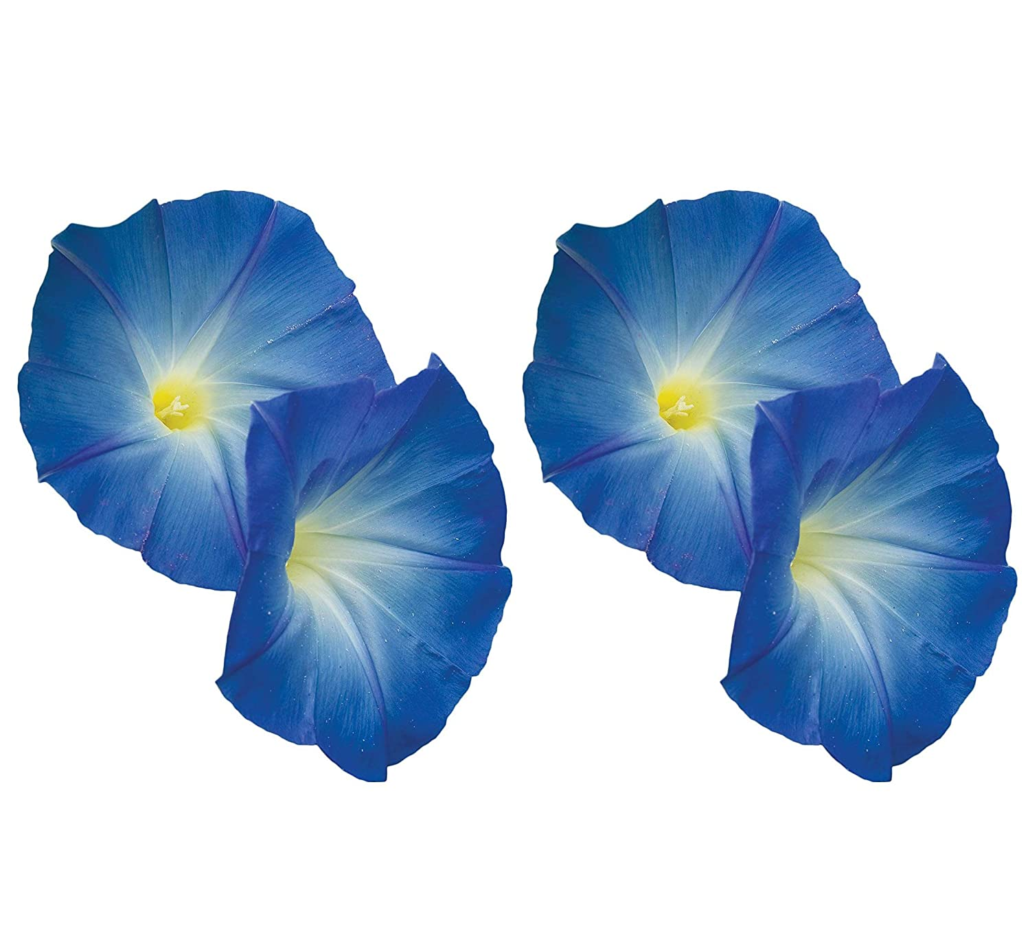 Amazon com : Burpee Heavenly Blue Morning Glory Seeds 150