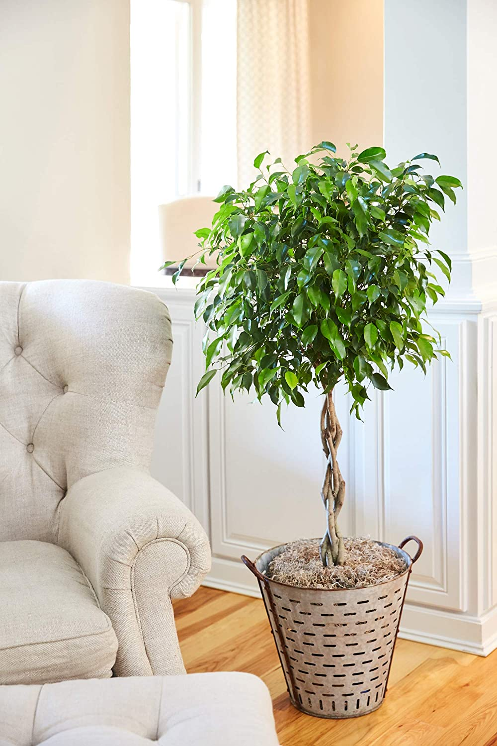 Amazon.com : Benjamina Ficus Tree  3 4 Feet Tall In 3 Gallon Pot  Unique  Potted Tree, Perfect As A Patio Plant Or Indoor Tree : Garden U0026 Outdoor