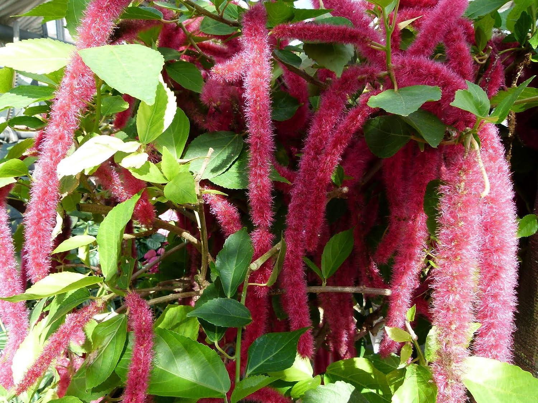 Amazoncom Acalypha Hispida Chenille Plant Exotic Cats Tail Shrub