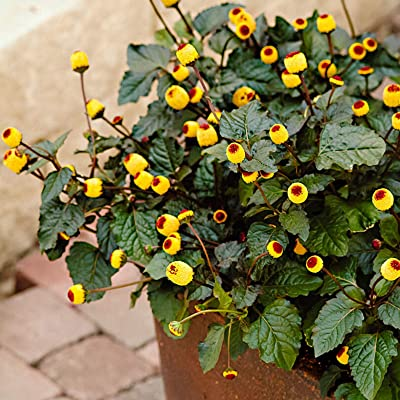 Toothache Plant (Spilanthes Acmella) • Medicinal Herb • 50 Seeds : Garden & Outdoor...