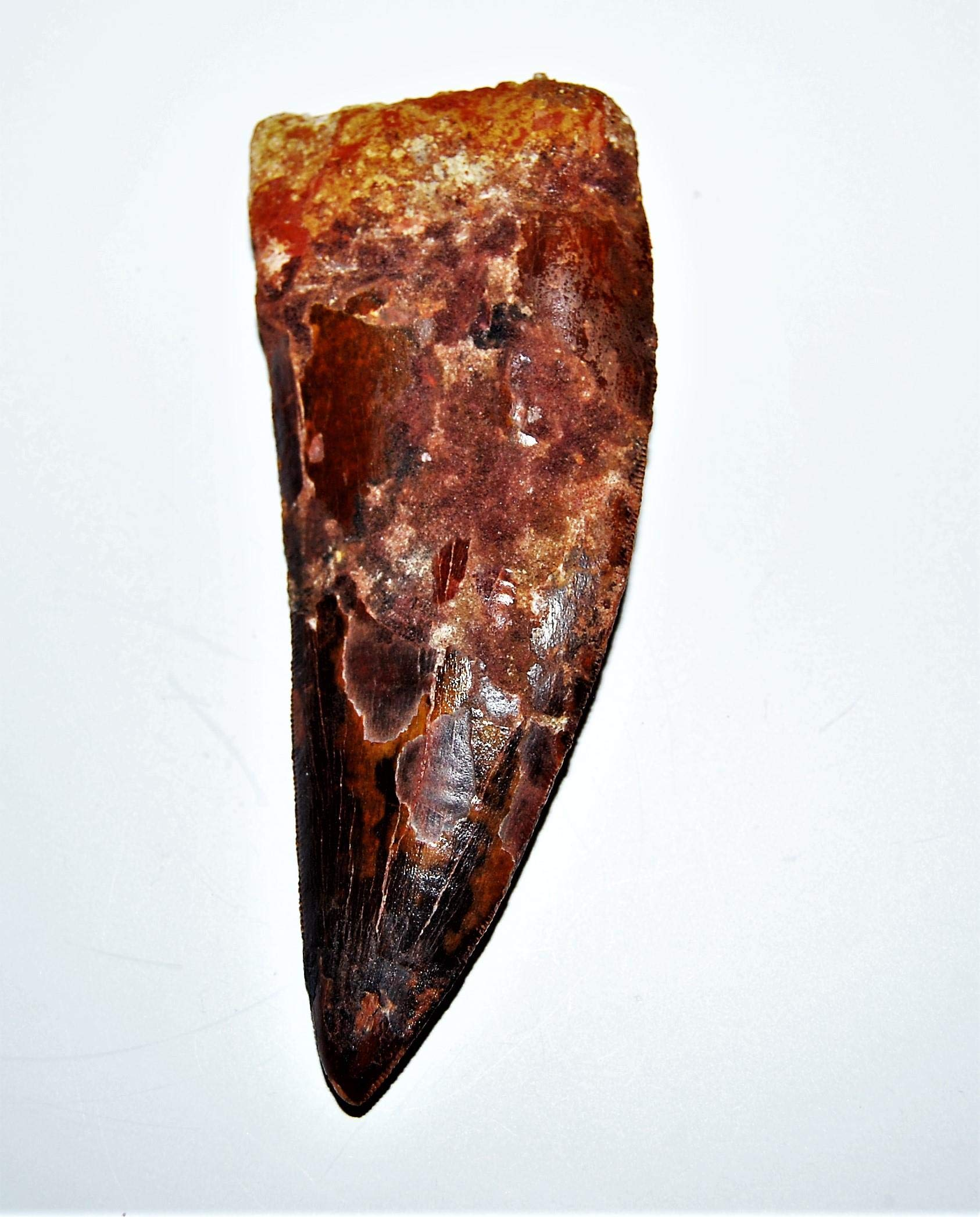 Carcharodontosaurus Dinosaur Tooth 4.313'' Fossil African T-Rex XLDB #14159 22o by Fossils, Meteorites, & More (Image #3)