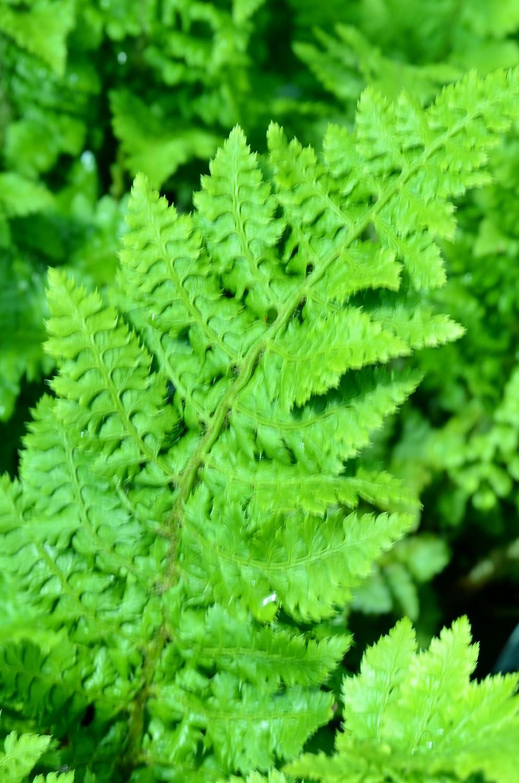 Polystichum setiferum Congestum