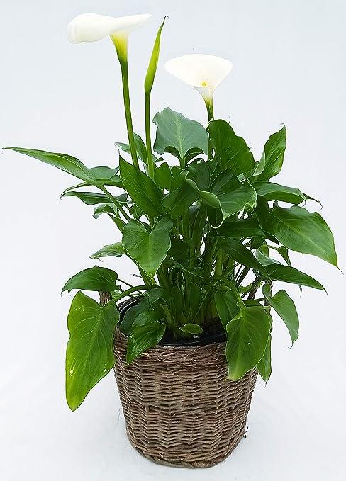 Cal blanca de jardín en maceta de mimbre XXL, planta auténtica: Amazon.es: Jardín