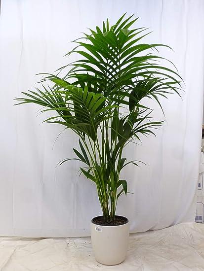 Palmenlager] Howea forsteriana - Kentia Palme - 120 cm ...
