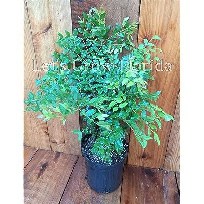 Jaboticaba, Jabuticaba Myrciaria cauliflora, Brazilian Grape Tree 6 inch Pot : Garden & Outdoor