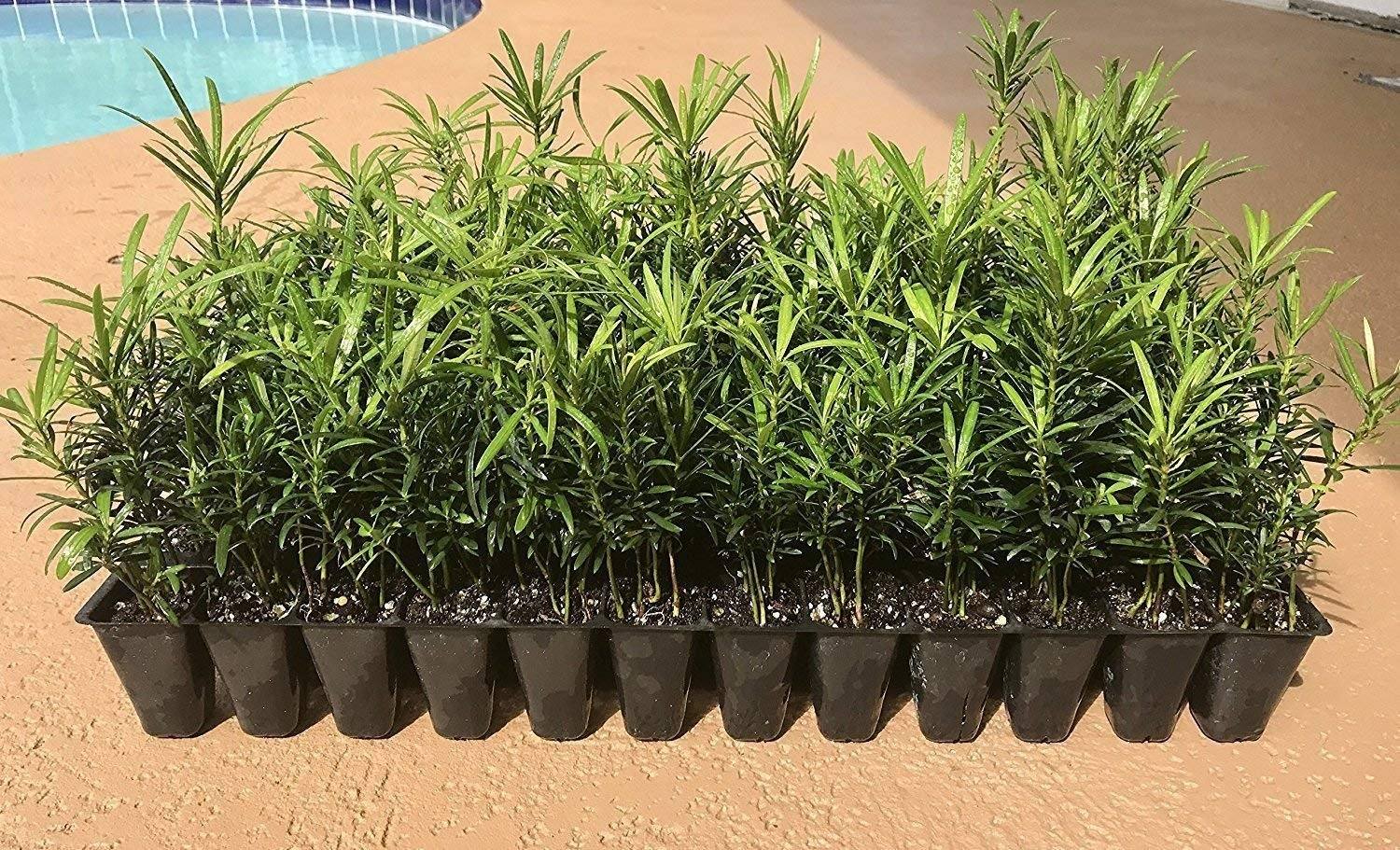 Podocarpus Macrophyllus Japanese Yew - 30 Live Plants 2'' Pots - Evergreen Privacy Hedge