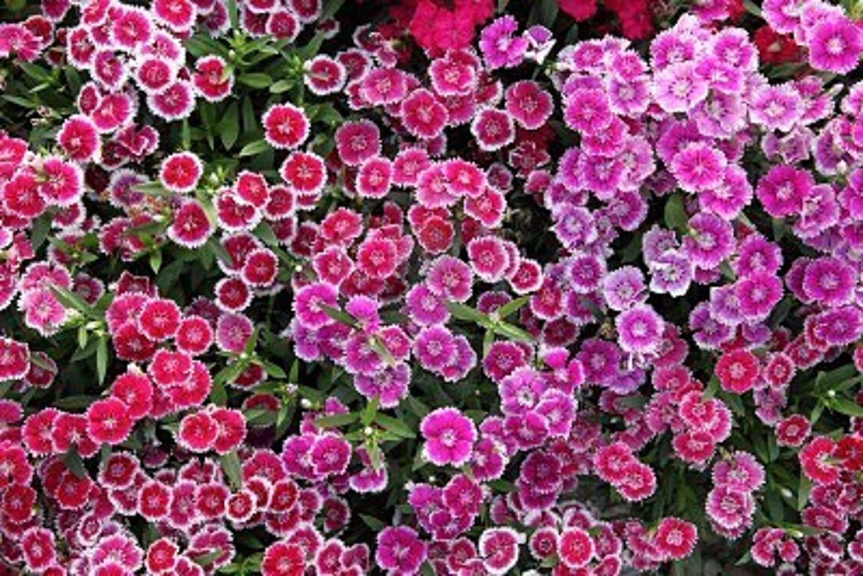 Amazon Dianthus Chinese Pinks Flower Seeds Bulk Garden