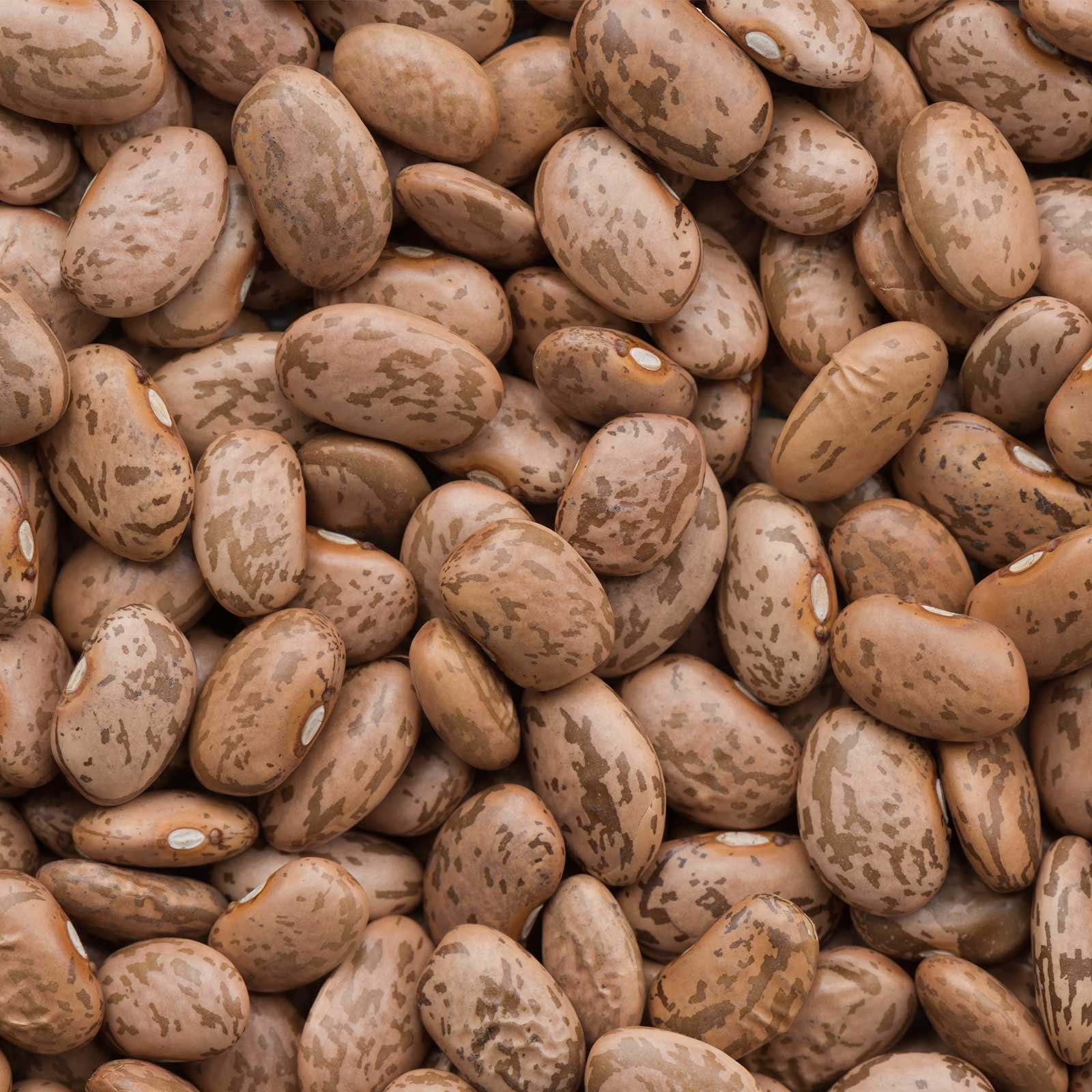Pinto Bean Seeds - 50 Lb Bulk - Also Called Shell Pinto or Shelling Pinto - Non-GMO, Heirloom - Vegetable Garden Seeds by Mountain Valley Seed Company
