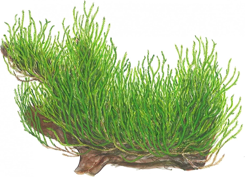 Tropica Taxiphyllum sp. 'Flame' Live Aquarium Moss - in Vitro Tissue Culture 1-2-Grow!