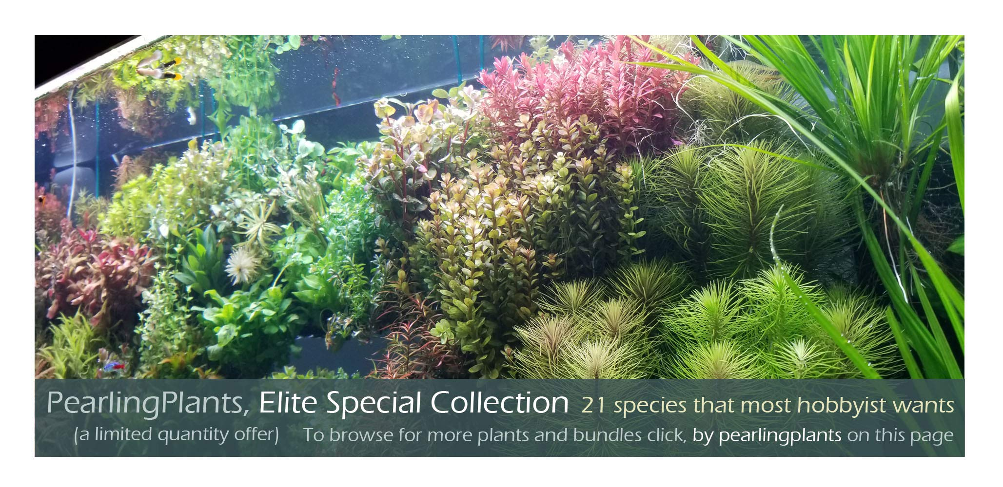 Elite Special Collection, Freshwater Live Aquarium Plants by PearlingPlants