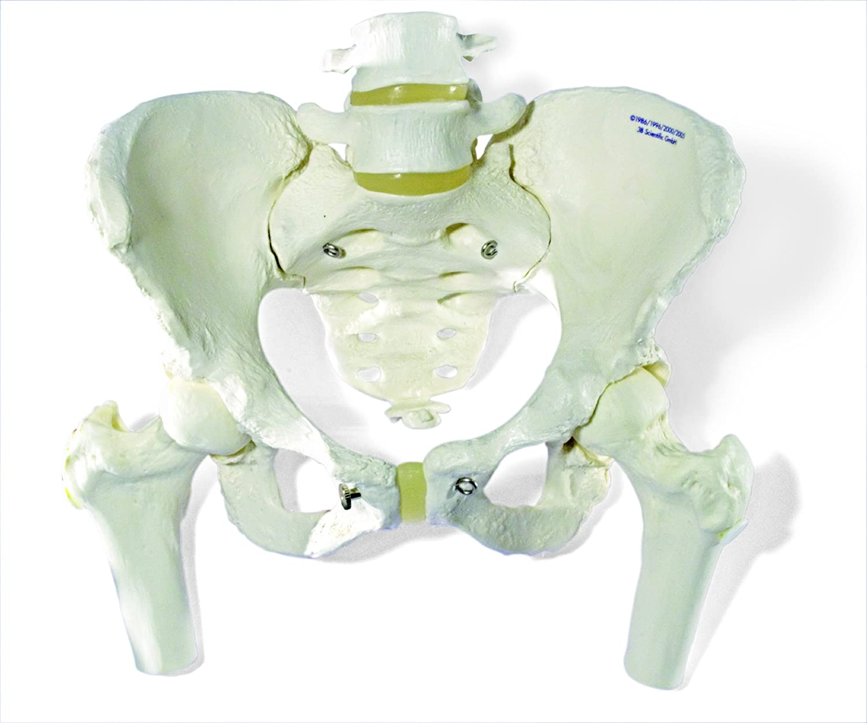 3B Scientific Menschliche Anatomie - Becken-Skelettmodell, weiblich ...