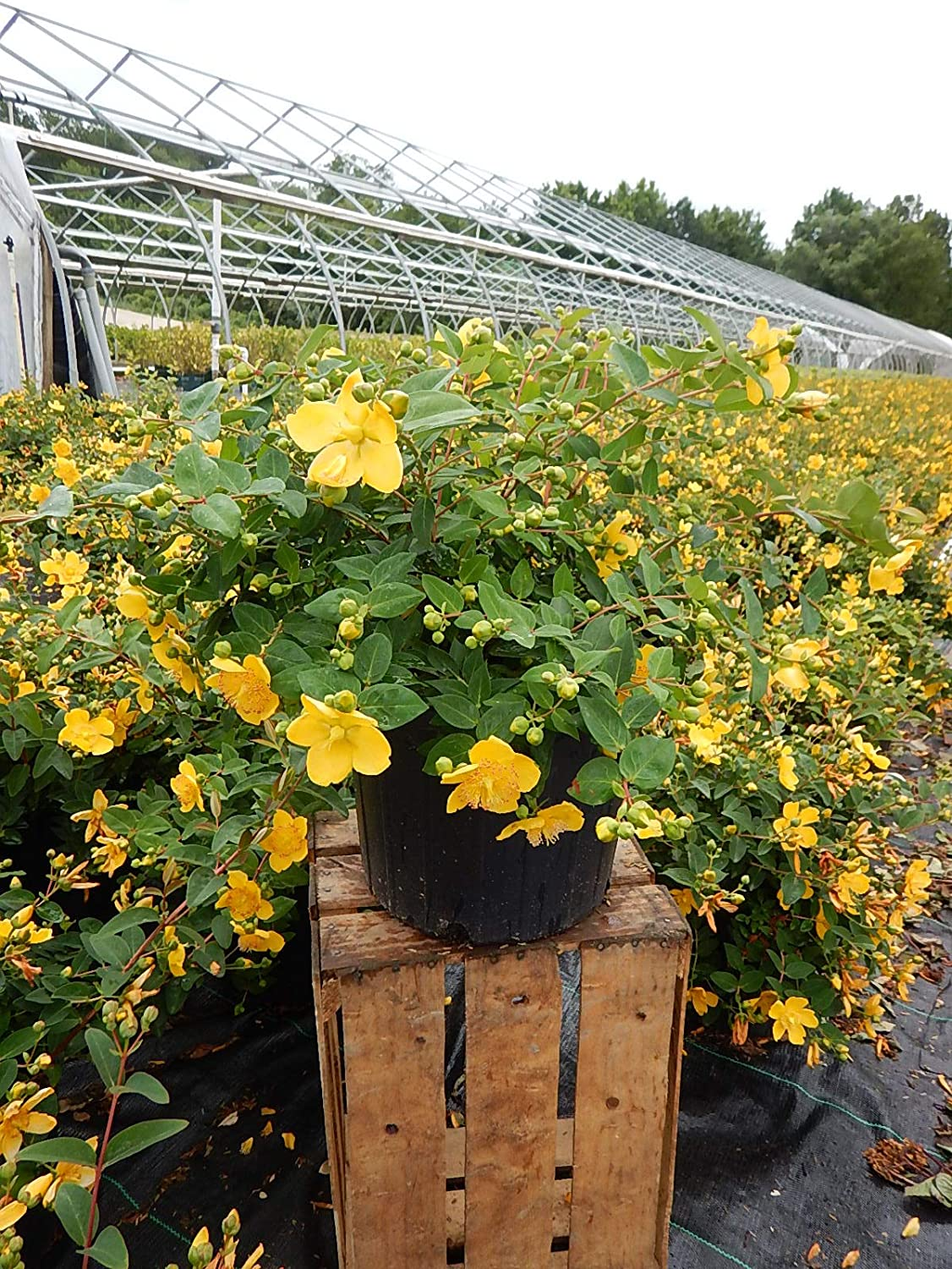 #2 Shrub Size Container red fruit Hypericum inodorum Red Star St. Johns Wort First Editions