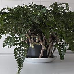 Davallia Tarantel-Farn Zimmerpflanze Spinnenfarn Humata tyermannii 14cm Ampel-Topf zum H/ängen Vogelspinnen-Farn