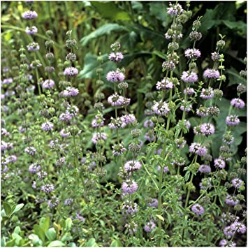 Amazoncom Package of 1 000 Seeds Pennyroyal Mint Mentha