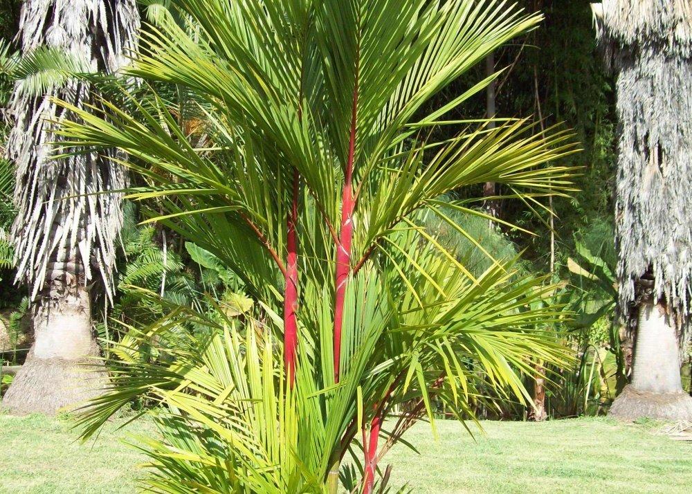 Palmera canaria 10 semillas Cyrtostachys renda Con sustrato SAFLAX
