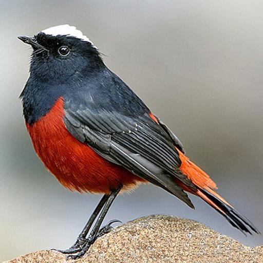 Asian Birds Sounds (Black Headed Duck)