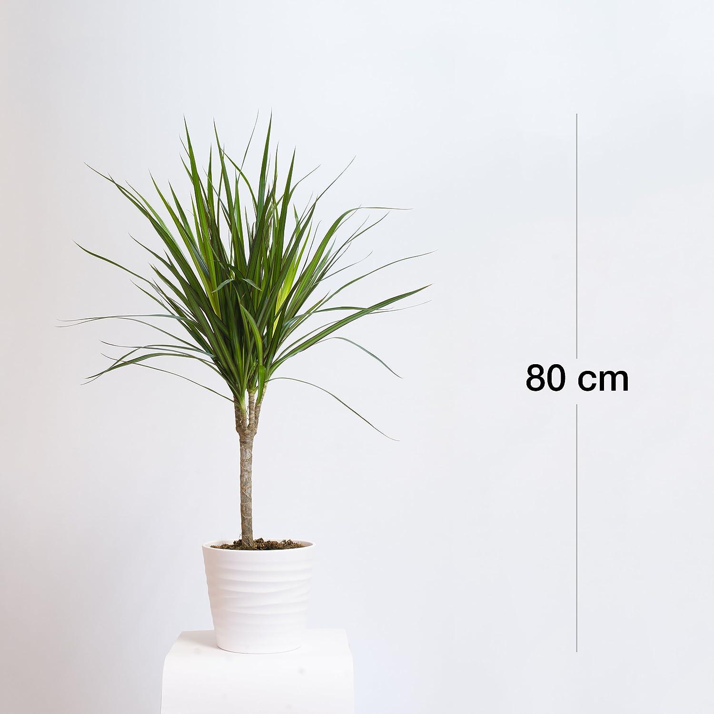 Dracaena marginata 80cm // Zimmerpflanze Blumen Drachenbaum,Drachenlilie
