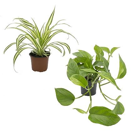 Grünlilie und Efeutute, Rankpflanzen-Set