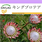 SAFLAX - キングプロテア - 5 個の種。 - Protea cynaroides