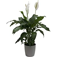 Costa Farms Peace Lily, Spathiphyllum, Live Indoor Plant