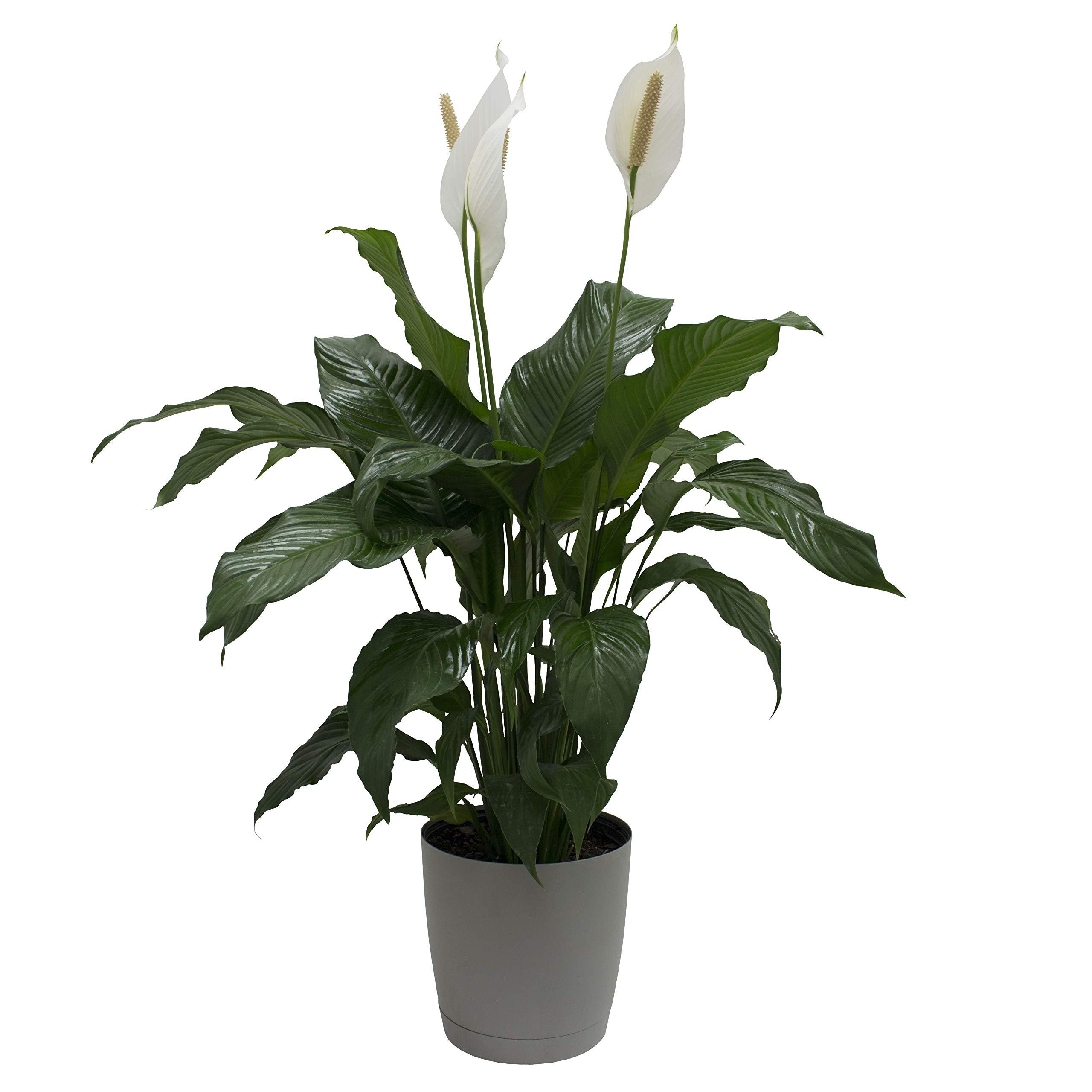Costa Farms Peace lily, Spathiphyllum, Live Indoor Plant, 3-Feet Tall, Ships in Décor Planter, Fresh From Our Farm, Excellent Gift or Home Décor by Costa Farms (Image #1)