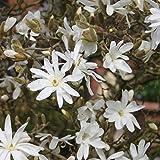 Dominik Blumen und Pflanzen, Sternmagnolie,  Magnolia stellata, weiß blühend, 1 Strauch, 4-6 triebig, 40 - 60 cm hoch, 3 Liter Container, plus 1 Paar Handschuhe gratis